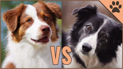 differences of the Australian Shepherd vs Border Collie