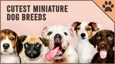 10 miniature dog breeds